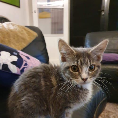 Nora - Domestic Short Hair Cat