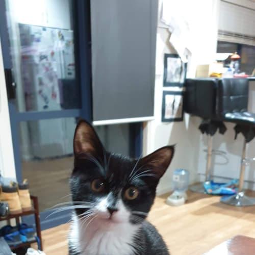 Moira - Domestic Short Hair Cat