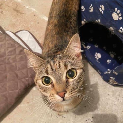 Ember - Domestic Short Hair Cat
