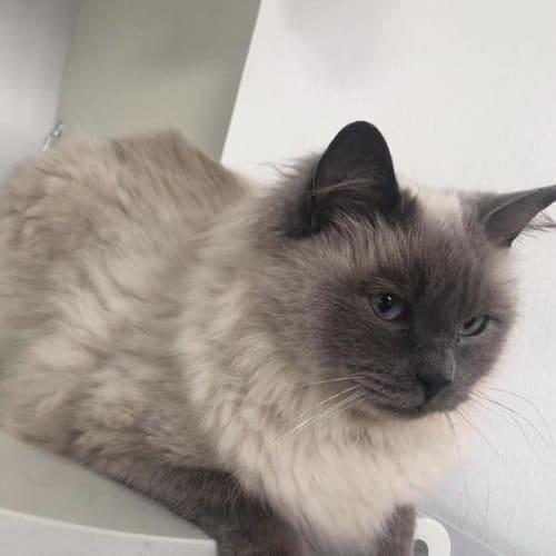 Stan Lee - Ragdoll Cat