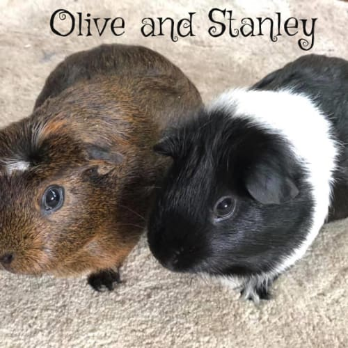 Olive and Stanley (desexed male) - Smooth Hair x Crested Guinea Pig