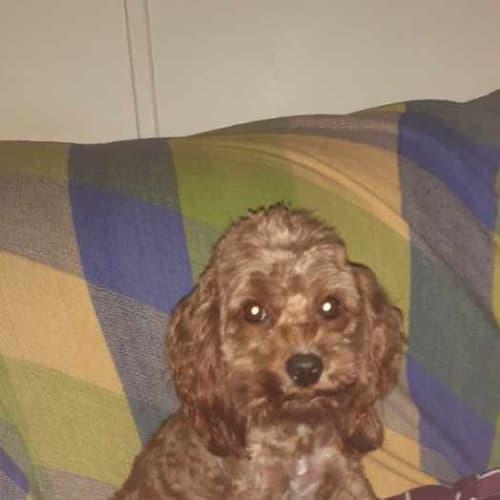 Cooper - Poodle Dog