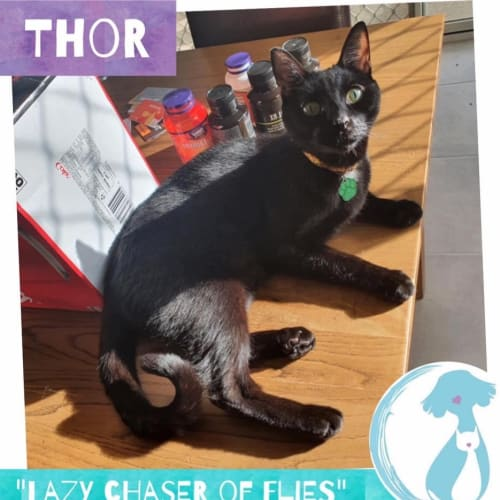 Thor - Domestic Short Hair Cat