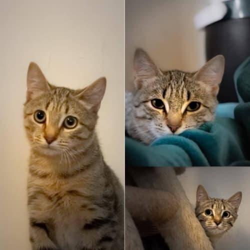 2543 – Sherkan - Domestic Short Hair Cat