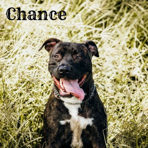 Chance - American Staffordshire Bull Terrier Dog