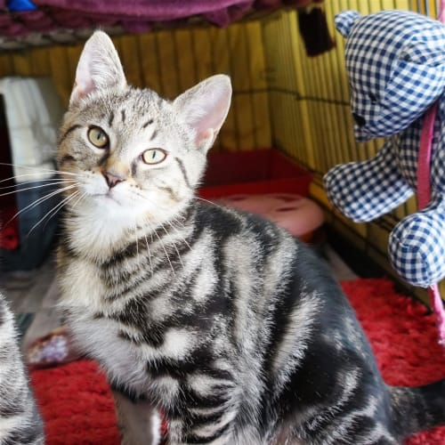 Beethoven - Domestic Short Hair Cat
