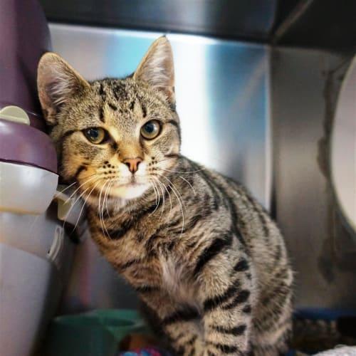 Levi - Domestic Short Hair Cat