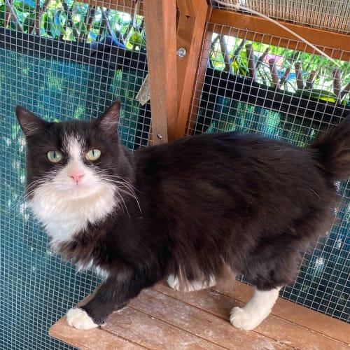 Gorgo - Domestic Long Hair Cat