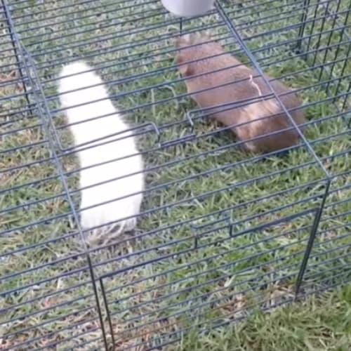 Jumper (Buddy of Climber) -  Guinea Pig