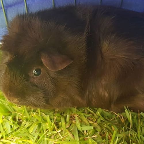 Alan -  Guinea Pig