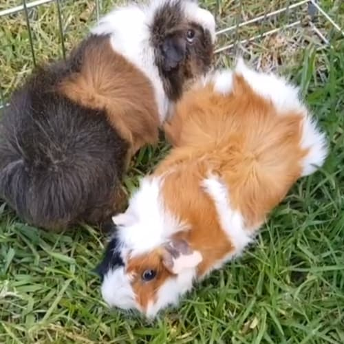 Snuffle (Buddy of Cookie) -  Guinea Pig