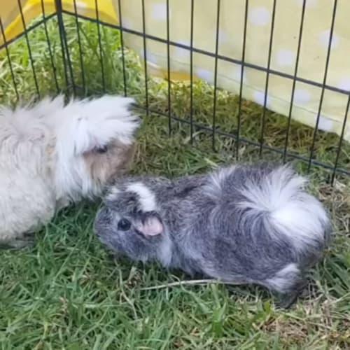 Peanut (Buddy of Blueberry) -  Guinea Pig