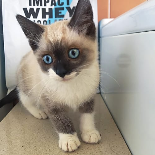 Lucy - Ragdoll Cat