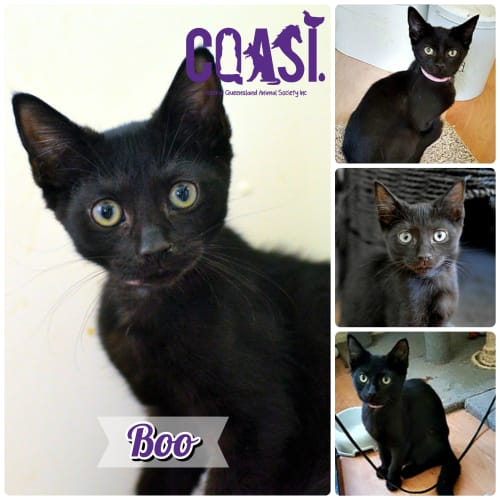 Boo - Domestic Short Hair Cat