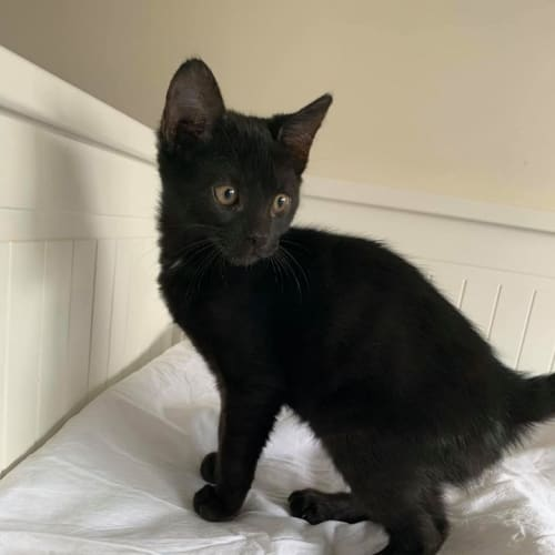 Remi - Domestic Short Hair Cat