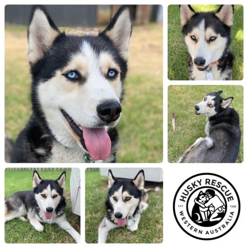Dexter - Siberian Husky Dog