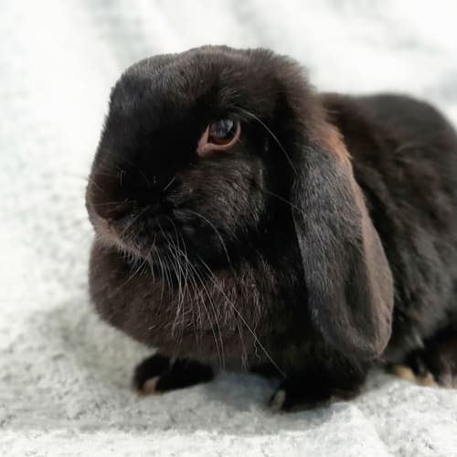Sierra  - Lop Eared Rabbit