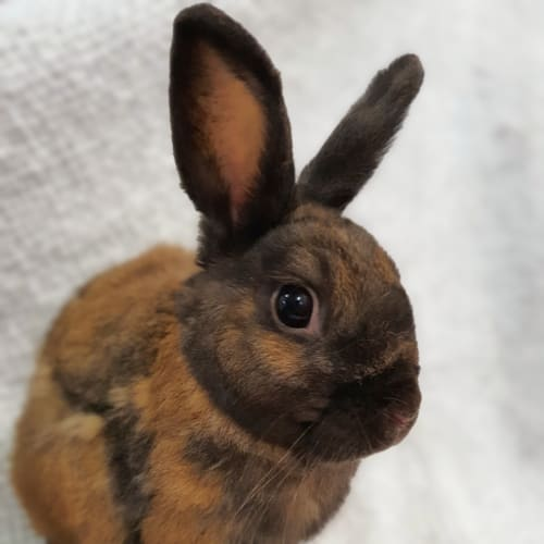 Ricky  - Domestic Rabbit