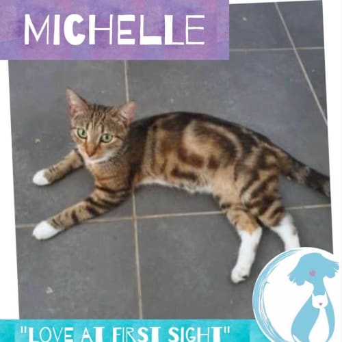 Michelle - Domestic Short Hair Cat