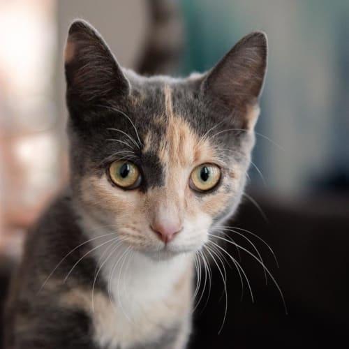 Alisha McBean - Domestic Short Hair Cat