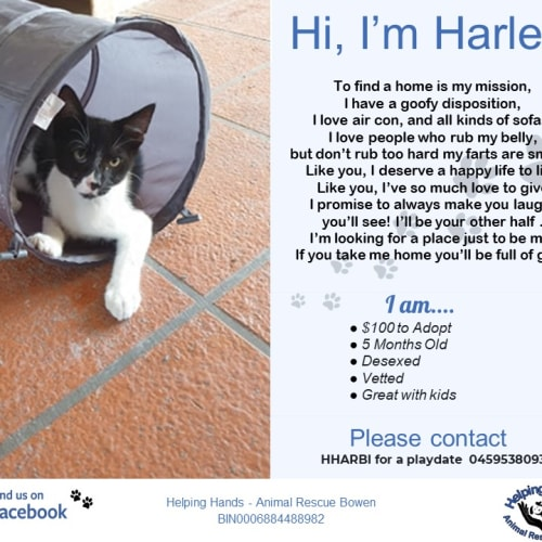 Harley - Domestic Medium Hair Cat