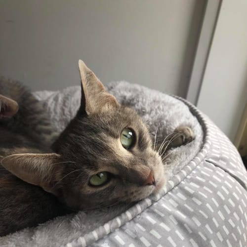 Iris (Located in Langwarrin) - Domestic Short Hair Cat
