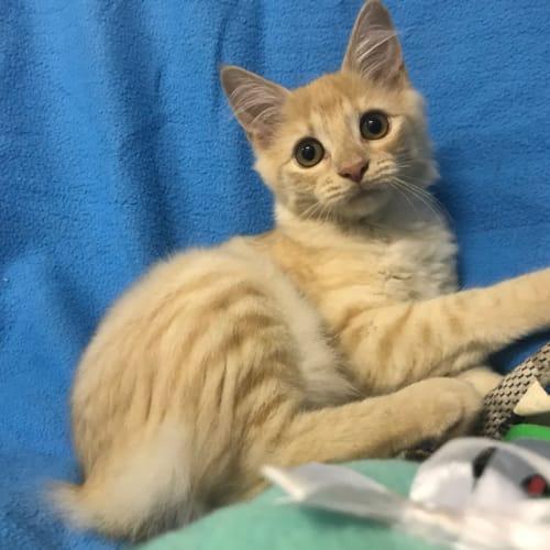 Merida - Manx Cat