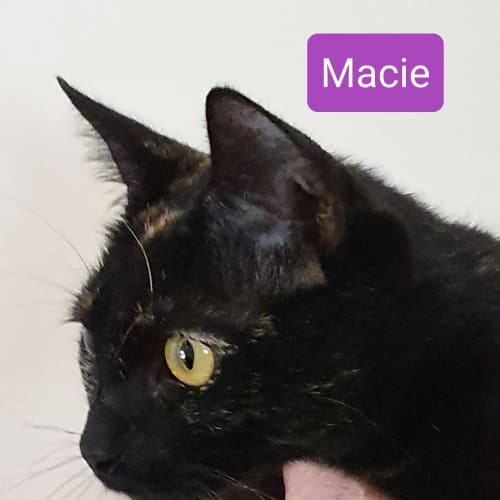 Macie - Domestic Short Hair Cat