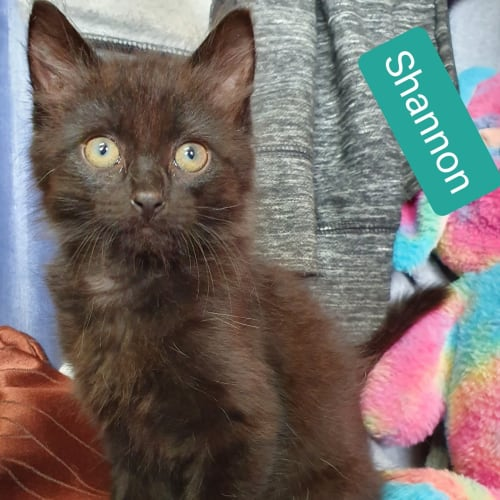 Shannon - Domestic Medium Hair Cat