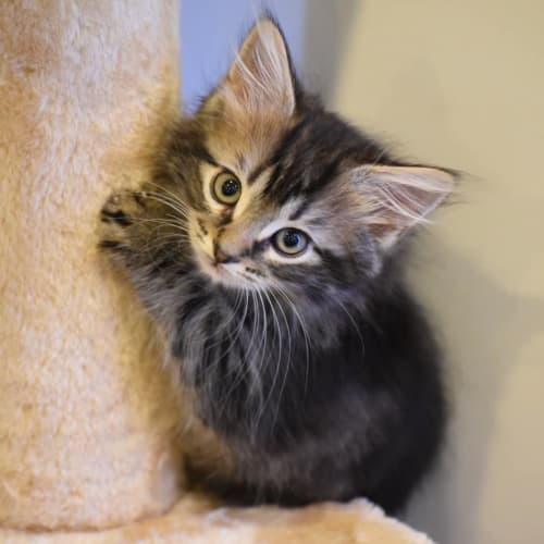 Scary - Domestic Medium Hair Cat
