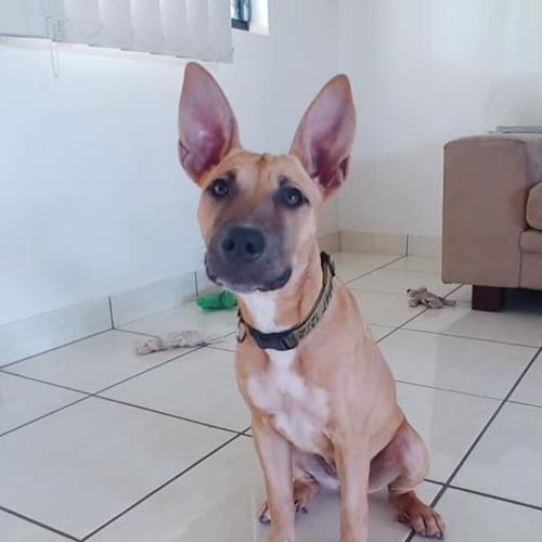 Pineapple - Mixed Breed Dog