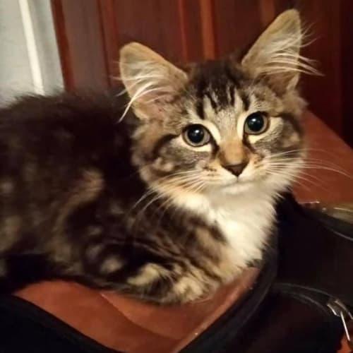 Rose Bud - Domestic Medium Hair Cat