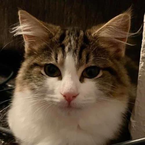 Cooper - Domestic Medium Hair Cat