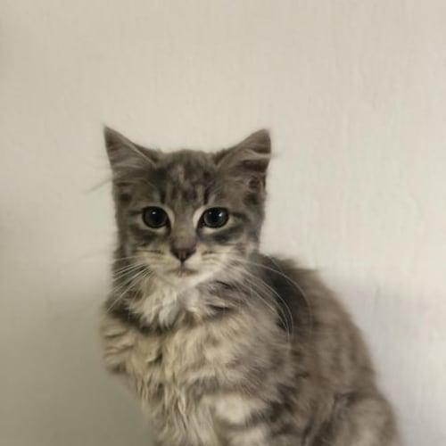 Parker - Domestic Long Hair Cat