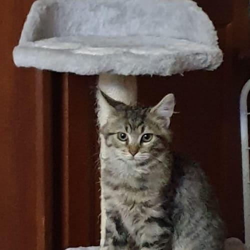 Kai - Domestic Medium Hair Cat