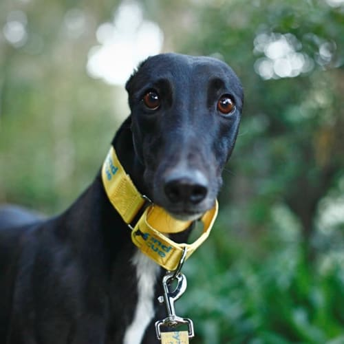 Darragh (In Foster) - Greyhound Dog