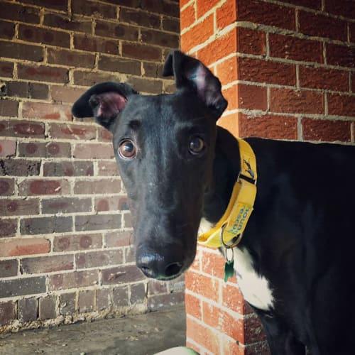 Darrah - Greyhound Dog