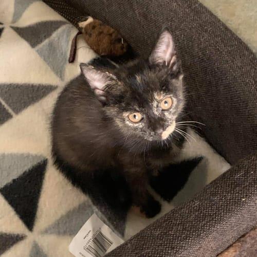 Tobi  CT20-130 - Domestic Short Hair Cat