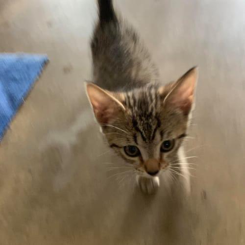 Keta  CT20-131 - Domestic Short Hair Cat