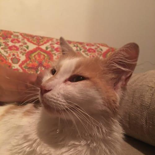Mickey - Domestic Medium Hair Cat