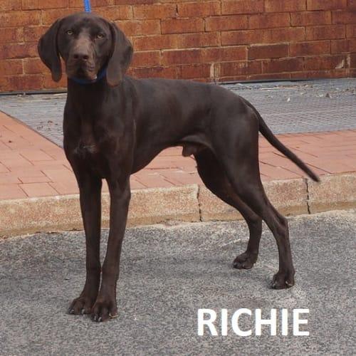 Richie - German Shorthaired Pointer Dog