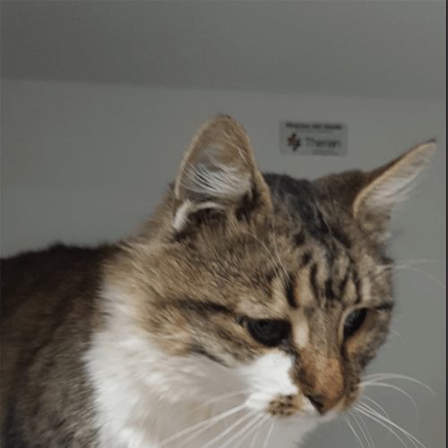 Bro Bro - Domestic Medium Hair Cat