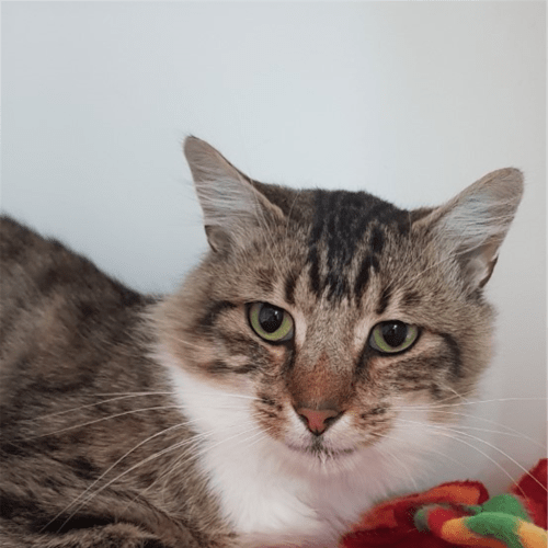 Big Boy - Domestic Medium Hair Cat