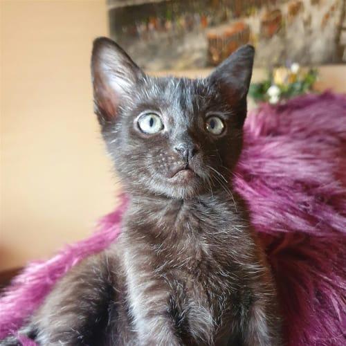 Senor Blob - Domestic Short Hair Cat
