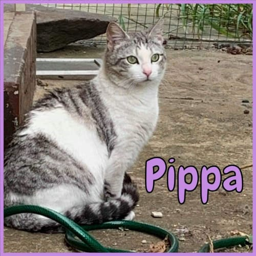 Pippa - Domestic Short Hair Cat