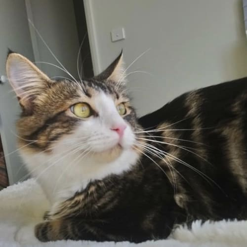 Tabby Ted ~ 2 year old cat - Domestic Short Hair Cat