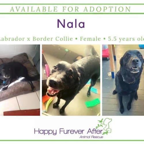 Nala - Labrador Dog