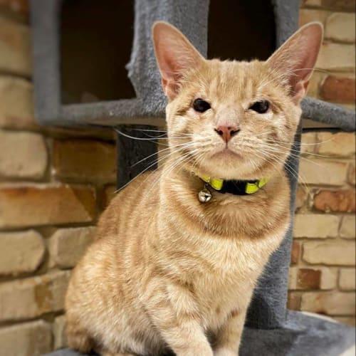 1426 - Cyrus - Domestic Short Hair Cat