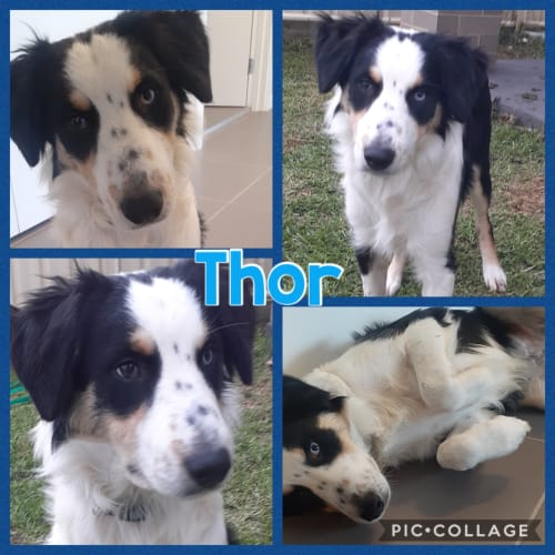 Thor - Border Collie Dog