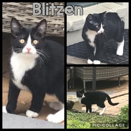 Blitzen - Domestic Short Hair Cat